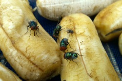 Close up of green bottle fly and house fly eating peeled banana fruit in blue net on metal grille. Selective focus.