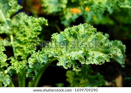 Close up of green curly kale plant in a vegetable garden, Green kale leaves, one of the super foods, beneficial for health lovers. High in antioxidants