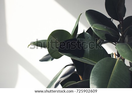 close up of green ficus plant with sunlight, minimalistic style #725902609