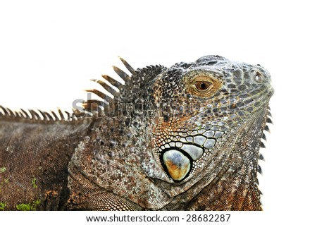 Close up of green iguana head on white background