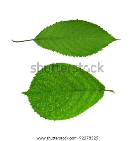 Close-up of green leaf isolated on a white background