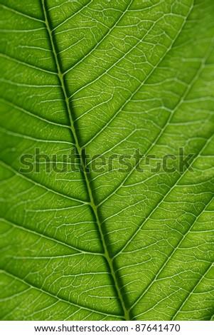 Close up of Green Leaf vein