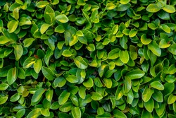 Close up of Green leaves of a bush in the park