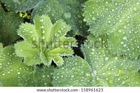 Close up of Green Leaves of lady's mantle covered in water drops with shallow depth of field.