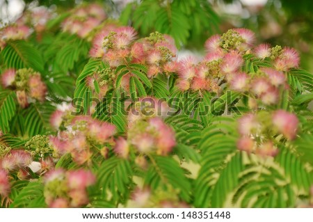 Close-up of green leaves with fluffy flowers Albizia