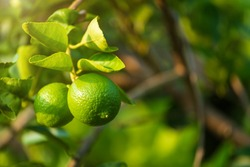 Close up of green lemons grow on the lemon tree in a garden background  harvest citrus fruit thailand.