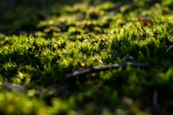 Close up of green moss. Pure nature. Sunlight in autumn forest. Green moss illuminated by the sun.