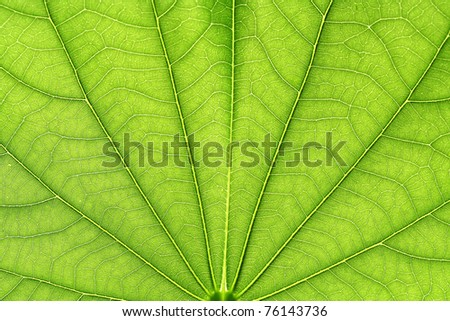 Close up of green neem leaves-Azadirachta indica