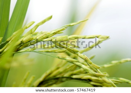 Close up of green paddy rice.