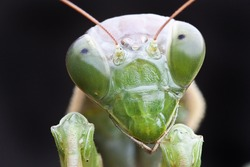 Close-up of green praying mantis isolated on black