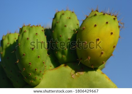 Close up of green prickly pears still hanging on prickly pear cactus against a blue sky in Sicily