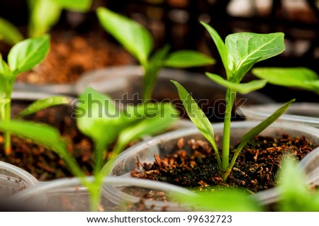Close-up of green seedling of tomatoes growing out of soil