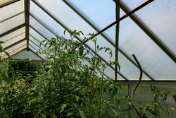 Close up of green tomato plants growing in greenhouse