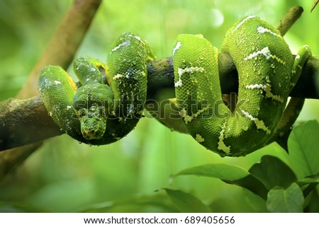 Stock Photo Close up of Green Tree Python. selective focus.