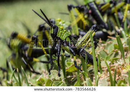 Close up of green, yellow and black locust with motion of other locusts in the background.