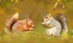 Close up of grey and red squirrels in autumn, UK.