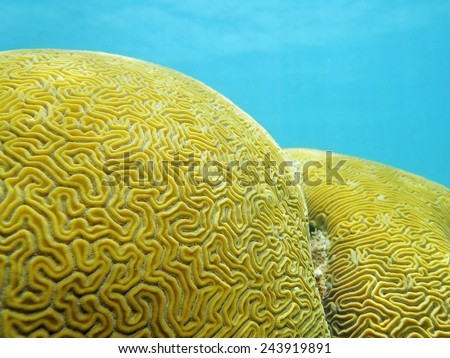 Close up of Grooved brain coral that looks like a labyrinth #243919891