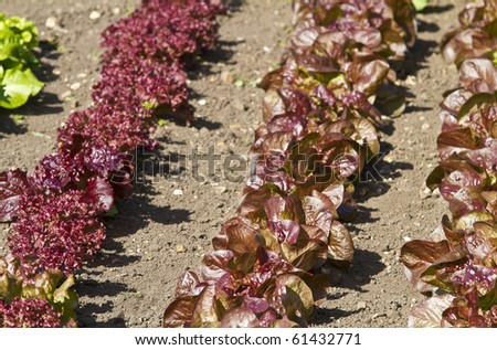 Close up of growing rows of different varieties of lettuce growing in a garden