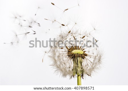 close up of grown dandelion and ...