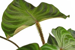 Close up of hairy petiole of tropical 'Philodendron Verrucosum' houseplant with dark green veined velvety leaves isolated on white background