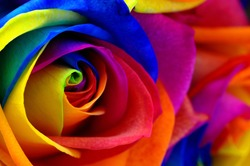 Close up of happy rose : rainbow flower with colored petals