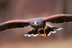 Close-up of harris hawk, parabuteo unicinctus, in flight facing camera in autumn. Wild bird of prey approaching in air with intense look into camera. Animal wildlife in nature.