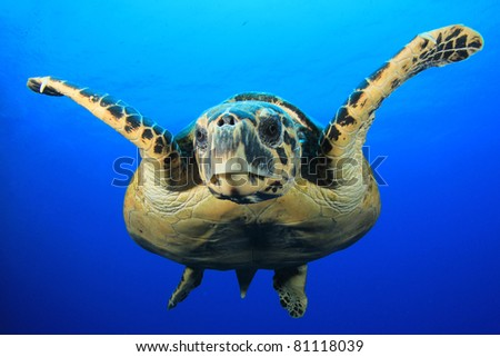 Close-up of Hawksbill Sea Turtle in blue water