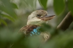 close-up of head and beak of blue-winged kookaburra surrounded by branches, Dacelo leachii, large species of kingfisher from Australia and New Guinea, bird with big beak, blue feathered bird