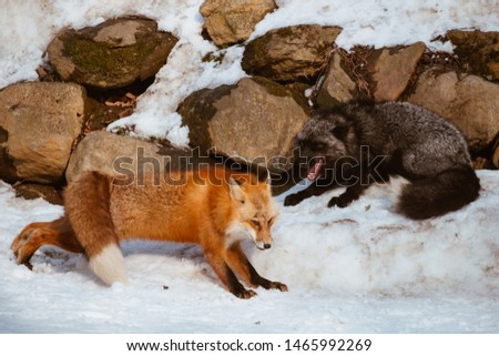 Close-up of head of a red fox, vulpes vulpes in the Zao Mountain, Miyagi, Sendai, Japan. Detail of predator staring forward looking for a prey. Wildlife scenery in winter and snow #1465992269