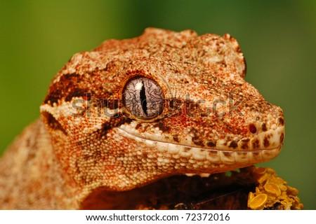 close up of head of gargoyle gecko