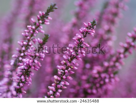 Close-up of heathers, Calluna Vulgaris, in pink, taken with a macro lens. Calluna Vulgaris is also called ling, and produces very delicious honey.