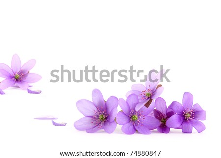 Close-up of hepatica (liverwort) flower on white background, focus on the foreground,  shallow DOF