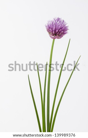 Close up of herb chive including flower on plain background