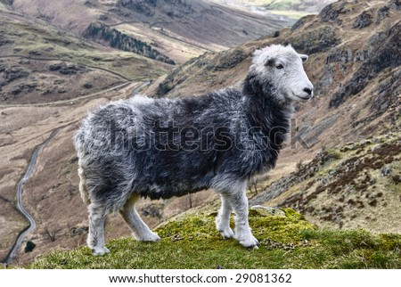Close up of Herdwick sheep on mountainside, Lake District National Park, Cumbria, England.