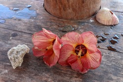 Close-up of Hibiscus Rosa-Sinensis flowers on wooden table. Chinese hibiscus with decoration of water drops on table China rose with coral and sea shell. Hawaiian Hibiscus, Rose Mallow, Shoeblackplant