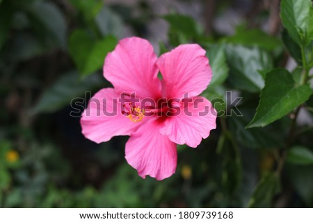 Close up of Hibiscus rosa-sinensis, known colloquially asChinese hibiscus is widely grown as anornamental plantin the tropics and subtropics. Isolated on green blurring background.