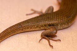 Close-up of hind legs with claws Eutropis multifasciata. East Indian brown mabuya, many-lined sun skink, many-striped skink, common sun skink, four legged reptile commonly known as East Indian brown