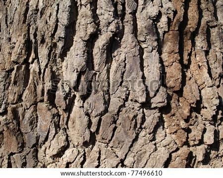 close up of hornbeam tree bark