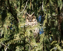 Close up of horned owl (long-eared owl) sleeping in forest on tree in spring season. Selective focus.