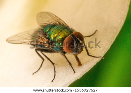 Close up of House fly, Fly, House fly carrier of communicable diseases, food poisoning