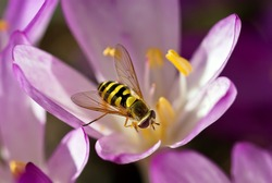 Close up of Hover Fly Collecting Pollen from Autumn Crocus