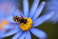 Close up of hoverfly or floating fly on blue daisy flower