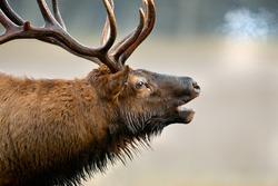 Close up of huge male elk bugling in cold fall air