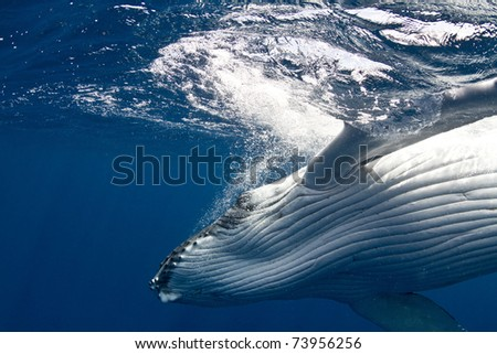 Close-up of Humpback Whale Calf Swimming near Surface