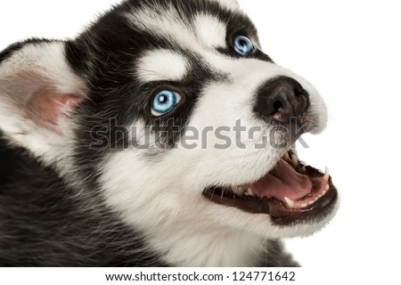 Close-up of husky puppy muzzle or face with mouth open. Focused on eye.