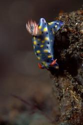 close up of Hypselodoris infucata  in underwater Bali