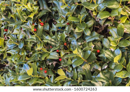 Close-up of Ilex aquifolium (holly, common holly, English holly, Christmas holly) with red berries - Image