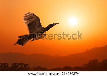 Close-up of Indian grey hornbill bird (Bucerotidae, Ocyceros biostris) flying to sunset sun over wooded hills and trees in a valley at foothills of Himalayas with orange sunset sky in background.