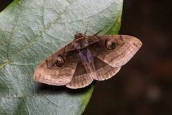 Close up of Indian Owlet-moth (Spirama retorta) on green leaf in nature, flash fired