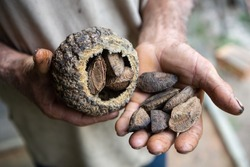 Close up of indigenous native man hand holding Brazil nuts, castanha do para, in the amazon rainforest. Concept of environment, ecology, sustainable economy, conservation, biodiversity, healthy food.